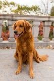 与坐与舌头的罕见的醒目的黑暗的金黄外套的金毛猎犬停留 免版税图库摄影