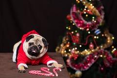 与坐在圣诞老人服装的棒棒糖的滑稽的圣诞节哈巴狗在新年树附近 库存照片