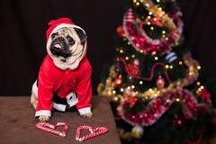 与坐在圣诞老人服装的棒棒糖的滑稽的圣诞节哈巴狗在新年树附近 免版税库存图片