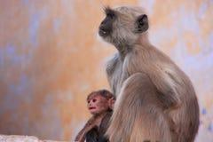 与坐在寺庙的婴孩的灰色叶猴,普斯赫卡尔,印度 免版税库存图片
