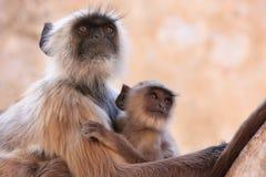 与坐在寺庙的婴孩的灰色叶猴,普斯赫卡尔,印度 免版税库存照片