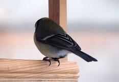 与坐在木饲养者单独视图ro的黄色全身羽毛的山雀 免版税库存照片