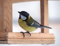 与坐在木饲养者和认为的黄色全身羽毛的山雀 库存照片