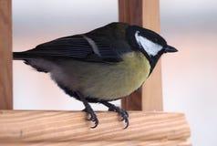 与坐在木饲养者的黄色全身羽毛的山雀 免版税图库摄影