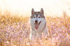 与坐在绿草和丁香的棕色眼睛的逗人喜爱的美丽的灰色爱斯基摩在日落背景和黄色晴朗的背后照明开花 库存图片
