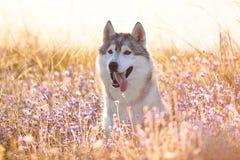与坐在绿草和丁香的棕色眼睛的逗人喜爱的美丽的灰色爱斯基摩在日落背景和黄色晴朗的背后照明开花 图库摄影