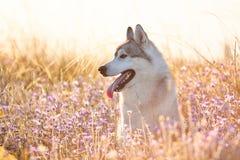 与坐在绿草和丁香的棕色眼睛的逗人喜爱的美丽的灰色爱斯基摩在日落背景和黄色晴朗的背后照明开花 免版税库存图片