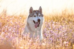 与坐在绿草的棕色眼睛的逗人喜爱的美丽的灰色爱斯基摩 免版税库存照片