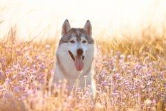 与坐在绿草的棕色眼睛的逗人喜爱的美丽的灰色爱斯基摩 库存图片