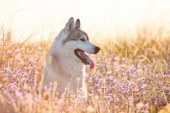 与坐在绿草的棕色眼睛的逗人喜爱的美丽的灰色爱斯基摩 库存照片