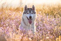 与坐在绿草的棕色眼睛的逗人喜爱的美丽的灰色爱斯基摩 图库摄影