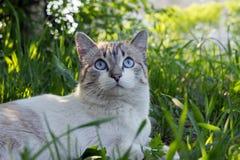 与坐在绿草的蓝眼睛的一只白色虎斑猫在晴天 图库摄影