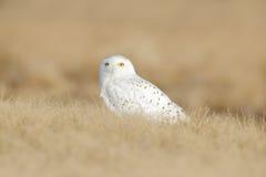 与坐在草、场面与清楚的前景和背景的黄色眼睛的鸟多雪的猫头鹰,在自然栖所,加拿大 库存图片