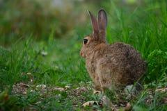 与坐在草的大耳朵的狂放的棕色野兔 库存照片