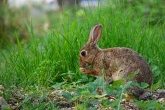 与坐在草的大耳朵的狂放的棕色野兔 免版税库存照片