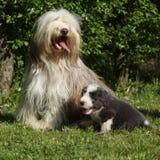 与坐在草的小狗的美丽的有胡子的大牧羊犬 库存照片