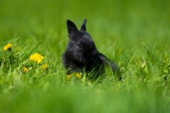 与坐在草的蒲公英花的逗人喜爱的黑兔宝宝 美丽如画的栖所,生活在草甸 免版税库存图片