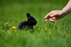 与坐在草的蒲公英花的逗人喜爱的黑兔宝宝 美丽如画的栖所,生活在草甸 库存照片