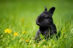 与坐在草的蒲公英花的逗人喜爱的黑兔宝宝 美丽如画的栖所,生活在草甸 库存图片