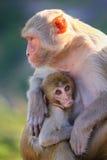 与坐在Galta寺庙附近的婴孩的罗猴短尾猿在斋浦尔, 免版税图库摄影