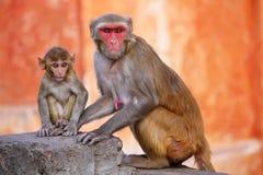 与坐在Galta寺庙附近的婴孩的罗猴短尾猿在斋浦尔, 免版税库存图片