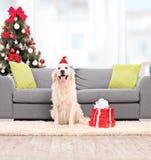 与坐由沙发的圣诞老人帽子的狗户内 库存图片
