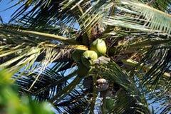 与坚果的椰子树在越南 库存图片