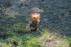 与坚果的红松鼠在公园 库存图片