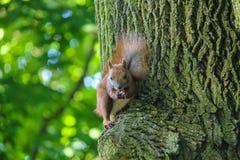 与坚果的红松鼠在城市公园 免版税库存照片