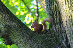 与坚果的红松鼠在城市公园 免版税库存图片