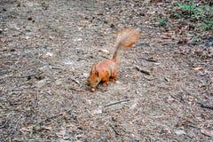 与坚果的红松鼠在森林里 免版税库存图片