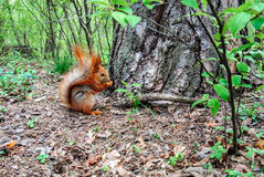 与坚果的红松鼠在森林里 免版税库存照片