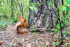 与坚果的红松鼠在森林里 库存图片