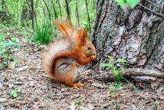 与坚果的红松鼠在森林里 图库摄影