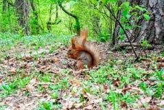 与坚果的红松鼠在森林里 免版税图库摄影