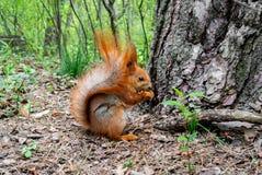 与坚果的红松鼠在森林里 库存照片
