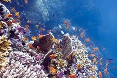 与坚硬和火珊瑚的五颜六色的珊瑚礁和在热带海运底层的异乎寻常的鱼anthias  免版税图库摄影