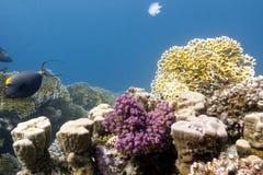 与坚硬和火珊瑚的珊瑚礁在红海底层  免版税库存图片