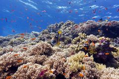 与坚硬珊瑚和异乎寻常的鱼anthias的在热带海底部的珊瑚礁和引金鱼  免版税库存图片