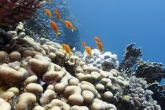 与坚硬珊瑚和异乎寻常的鱼anthias的珊瑚礁在热带海底部  免版税库存照片
