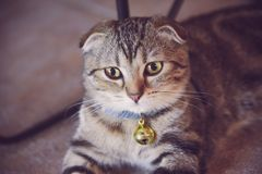 与垂悬从脖子的金响铃的逗人喜爱的小猫 库存图片
