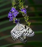 与垂悬在与非常浅景深的一朵紫色花上的装饰的翼的黑白蝴蝶 库存图片