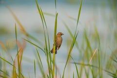 与垂悬在她的嘴外面的被寻找的昆虫的母美洲红翼鸫保持芦苇在高草海在有风的 库存图片