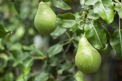 与垂悬在树,绿色背景的水滴的成熟梨 图库摄影