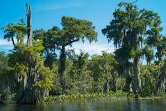 与垂悬寄生藤的落羽杉树在Wakulla河,佛罗里达,美国 免版税库存图片