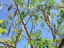 与垂悬生长在明亮的阳光下的Seedpods的含油椒木属(鼓槌)树 库存图片