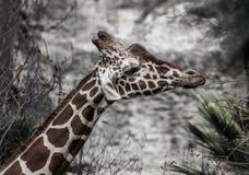与垂悬的滑稽的长颈鹿在耳朵下 免版税库存图片