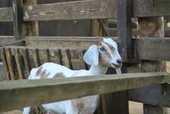 与垂悬长的耳朵的Nubian山羊 库存照片