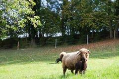 与垫铁和小羊羔的卷曲毛皮绵羊在绿色瑞士草甸 库存图片