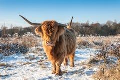 与垫铁和无形的眼睛的高地母牛由于它长的h 免版税库存图片